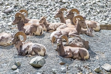 Group of bighorn sheep sitting on a mountainside