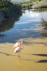 Flamingo isla Isabela Galápagos