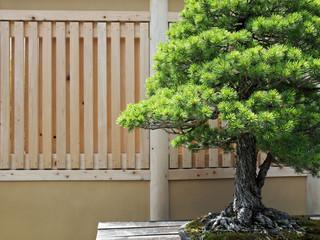 松盆栽 / A pine tree bonsai