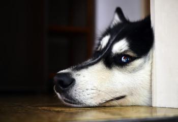 Bored Husky lying on the floor