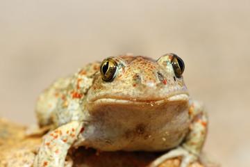 portrait of cute garlic toad