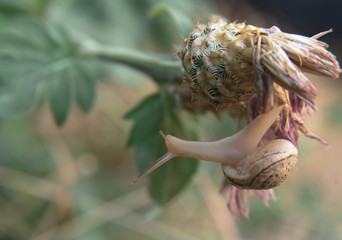 Grape snail crawls on a flower leaf , bokeh green  background