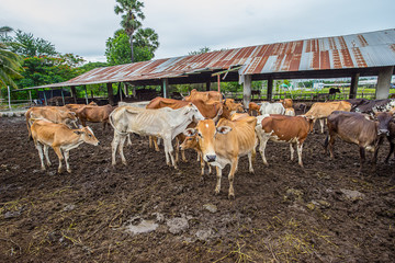 Cow, Holstein Cattle, Cattle, Animal, Dairy Farm