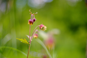 Geum rivale, the water avens, is a flowering plant of the family Rosaceae.
