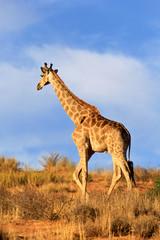 Giraffe walking away in Africa
