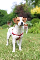Suczka Jack Russell Terrier