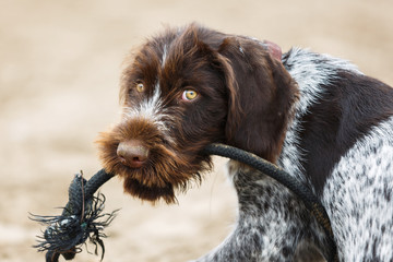 German Wirehaired Pointer puppy