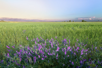 Flowers on the field / wheat field evening calm landscape