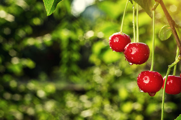 cherry orchard,Cherry tree,Ripe sour cherries growing on cherry tree,Cherries hanging on a cherry tree branch,fruit summer concept