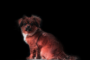 A half-breed red dog isolated on a black background