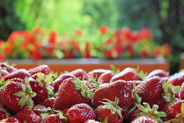 Ripe strawberries ready for market