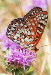 Variable Checkerspot (Euphydryas chalcedona) sipping nectar from Thistle flower. Alameda County, California, USA.