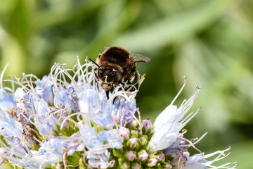 Banded bee with proboscis extended collecting pollen from echium flower in Porto Santo, Portugal