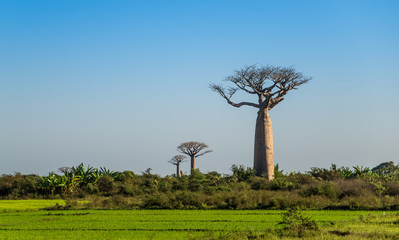 Group of young baobabs at dusk