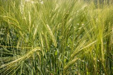 Getreide auf dem Feld
