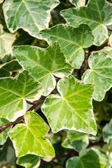 Two-color Algerian ivy leaves