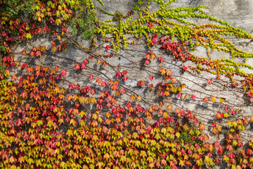 Wall covered in colourful ivy