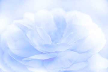 Blurred beautiful rose soft color for background