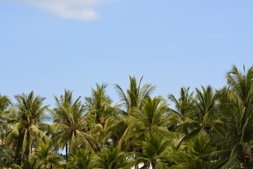 coconut tree and blue sky background