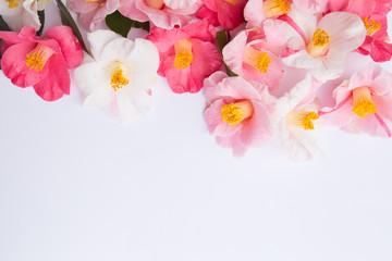 Pink and White Camellia flowers on white background
