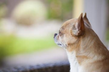 Short hair chihuahua. A sad little dog