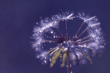 Dandelion closeup with water drops and bokeh on a blue background.