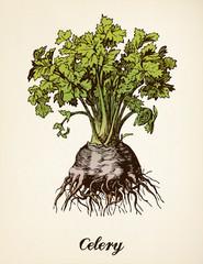 Celery vintage illustration vector
