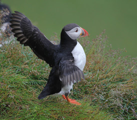 Puffin spread his wings