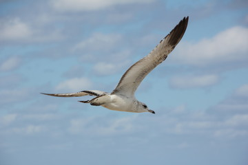Ring-Billed Gull flying in the sky, Palm Beach, Atlantic Ocean, Florida, USA