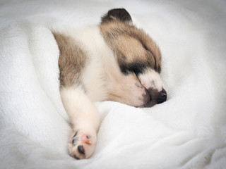 Cute puppy sleeping in bed under white blanket
