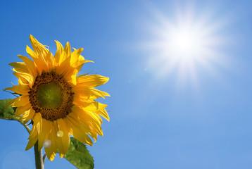 Sunflower, sun, summer, Sommer, Sonne, Sonnenblume, Himmel, Textraum, copy space