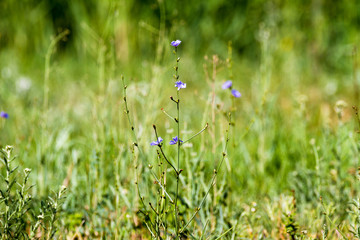 green grass background and a blue field flower