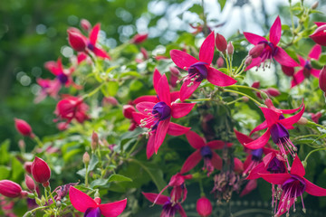 Many beautiful vibrant pink and purple fushia flowers in garden container