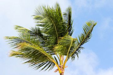 Green palm lush on blue sky background. Summer.