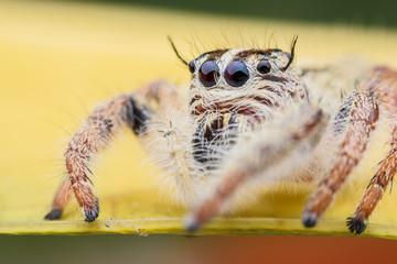 Super macro female Hyllus diardi or Jumping spider on yellow leaf