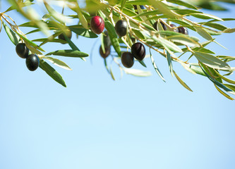 Black olives on the tree against blue sky. Shallow depth of field.  Selective Focus.
