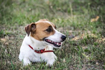 A small dog Jack Russell Terrier lying on green grass. A resting pet