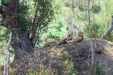 Three Cheetah's (Acinonyx jubatus) lying relaxing on a big boulder during the day, Kruger National Park, South Africa