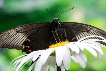 花の蜜を吸うカラスアゲハ