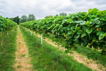 Foto op Canvas Wijngaard Strawberries growing on fruit farm