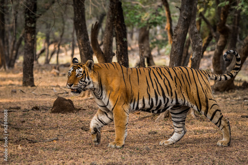 King in territory making, Ranthambore National Park