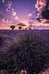 Printed roller blinds Lavender couché de soleil sur un champs de lavande