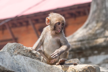 A monkey baby is showing his tongue, Pashupatinath Temple on Bagmati river, Nepal.