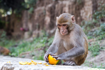 A monkey is peeling an orange, Pashupatinath Temple in Kathmandu, Nepal.