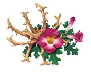 Devil's Claw (Harpagophytum procumbens), or grapple plant, wood spider