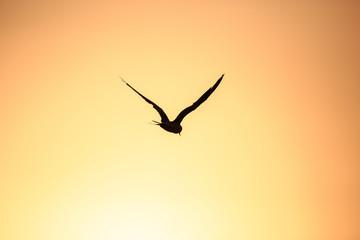 Tern in flight during setting sun