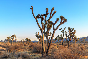 Joshua Tree's in the Desert