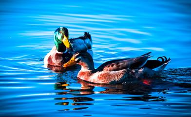 Photo sur Aluminium Mermaid Ducks