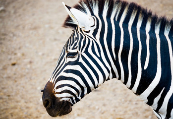 close up side view of a zebra