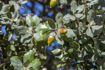 Close up of foliage and acorns of Holm Oak, Quercus ilex subsp. rotundifolia. Photo taken in Hoyo de Manzanares, province of Madrid, Spain